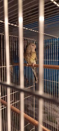 Продам самку певчего попугая