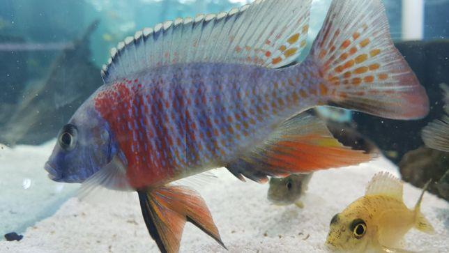 Ciclide africane -pesti acvariu