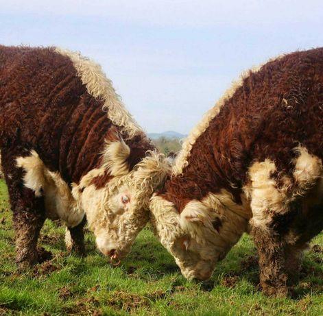 Продаются бычки, тёлки, нетели, коров, телята, абузау, КРС, МРС БЫК654