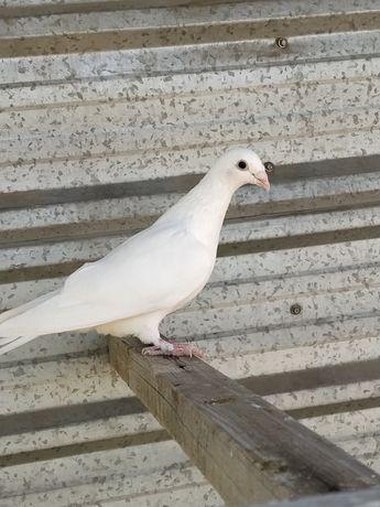 Продам Немцов почтовые молодые  голуби