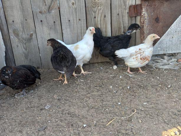 Цыплята несушки  почти 2 мес