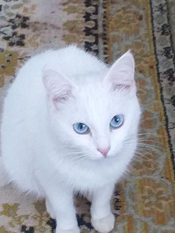 Бирманская порода.Белая кошечка.