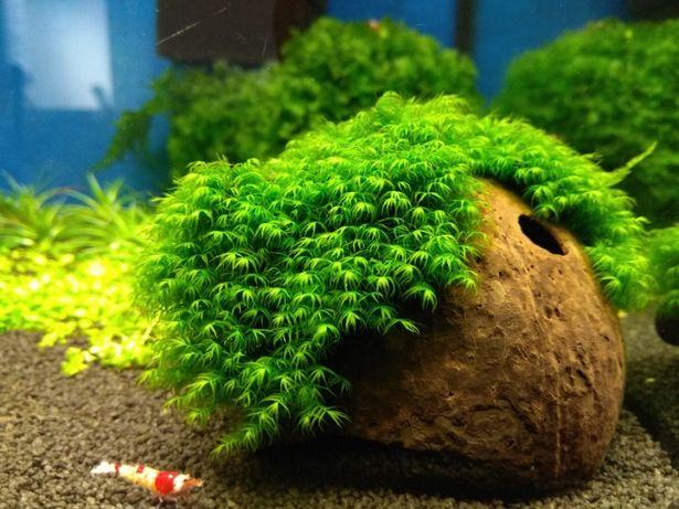Fissidens fontannus Bucephalandra wawy Green