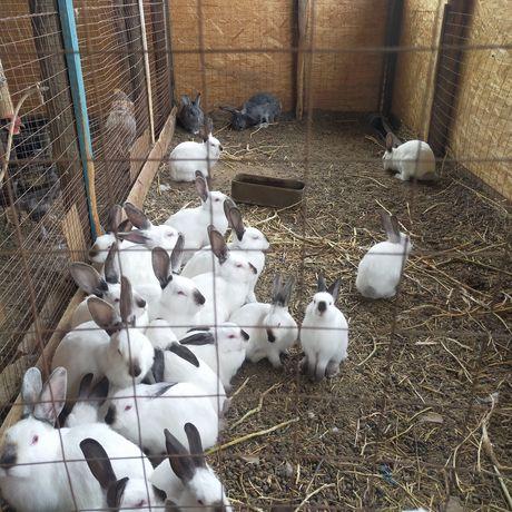 Продам чистопородных кроликов