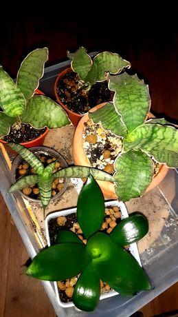 Сансевиерии сортовые Сансевьера Цветы Растения