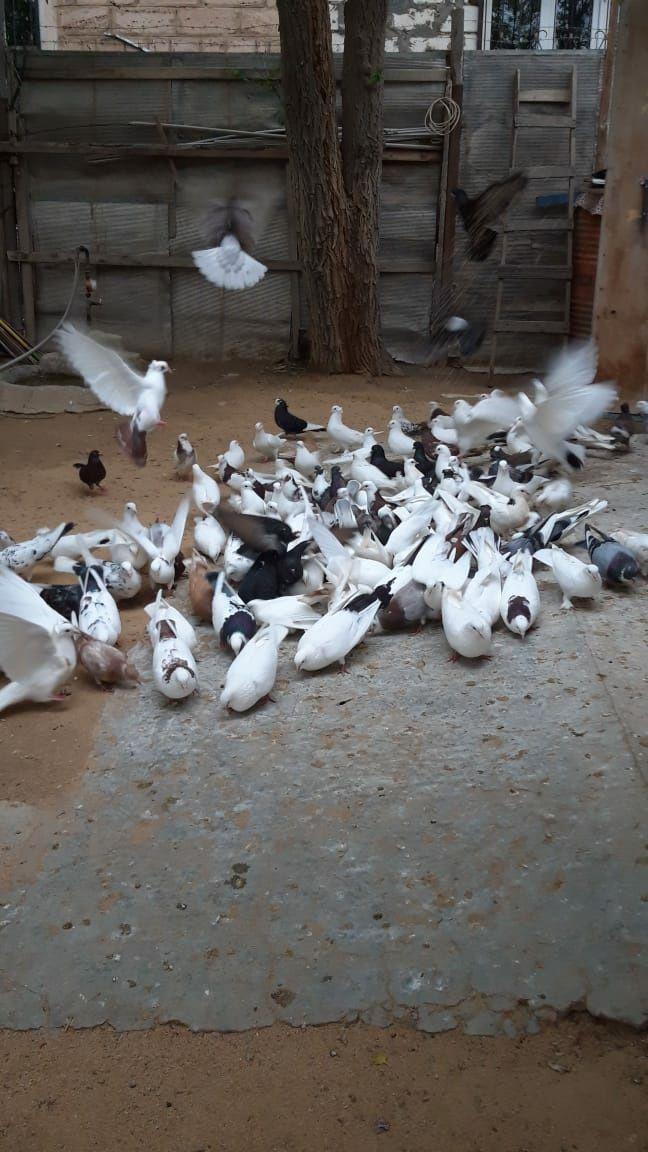 Продам бакинских голубей 160 штук