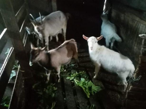 Козята от дойной породы