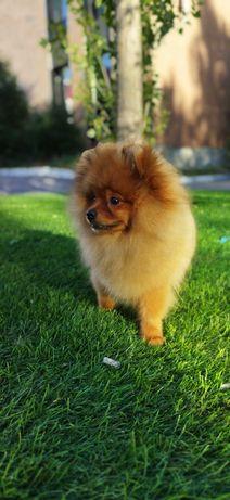 Шикарный щенок шпица