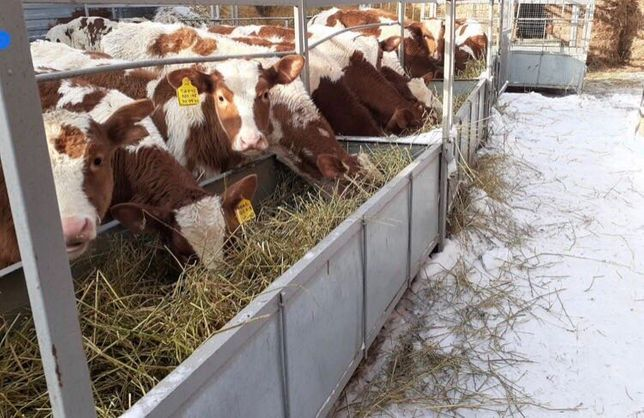 Продам коровы Бузау бычки телята Ангус сементал голштын акбас герефорд