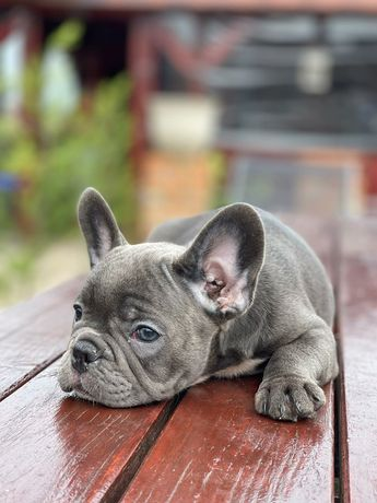 Bulldog francez blue