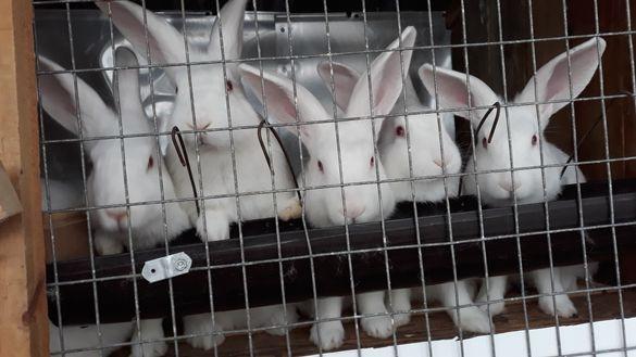 Зайци Цика за разплод и месо