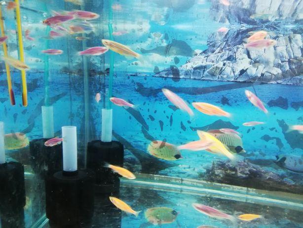 Продам рыбок Данио. Доставка от 10 штук по городу.