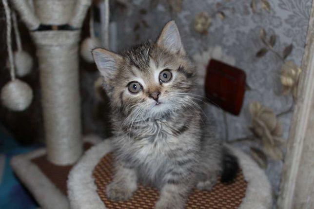 Продам британских котят,срочно
