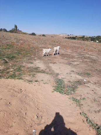 Коза и козлюнок зининсике