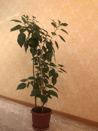 Дерево Роза 1,30 м
