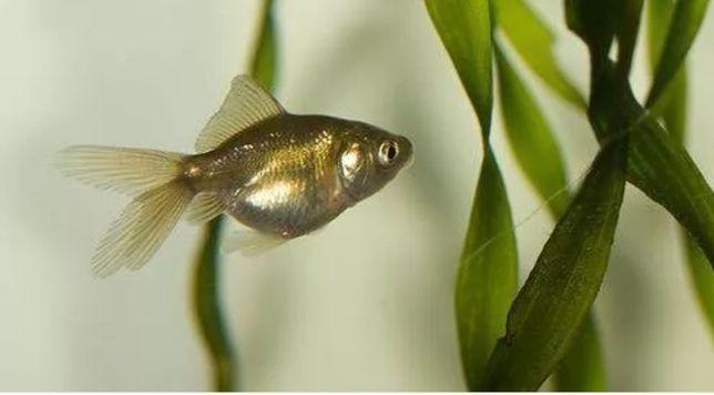 Золотые рыбки молодняк серые
