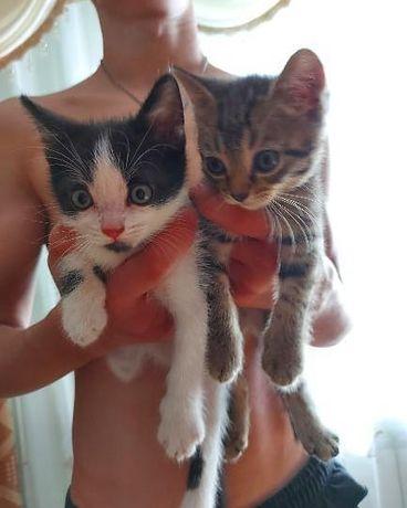 Котята. Мальчики. помесь с шотландской породой
