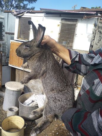 кролики Фландер 10кг