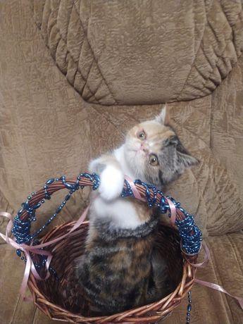 Чистокровный котенок