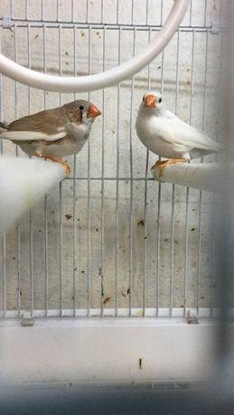 Амадины декоративные птички