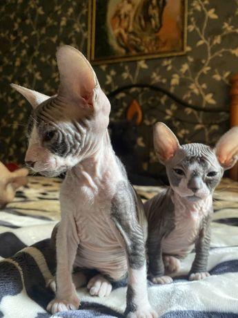 Продаются котята сфинксы