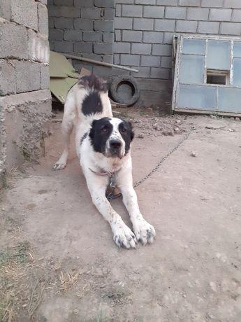 Собака Алабай байцовский