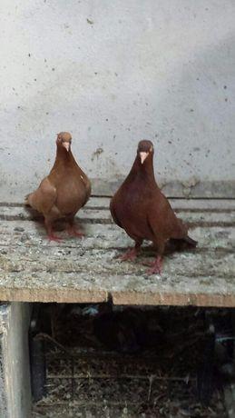 Поморийски гълъби
