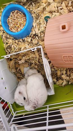 Vând 2 hamsteri mascul +femela (+2 cuști)
