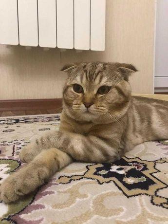 Вязка вислоухого шотланд.  кота