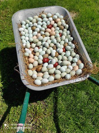oua incubat araucana(oua verzi fara colesterol)si olive egger