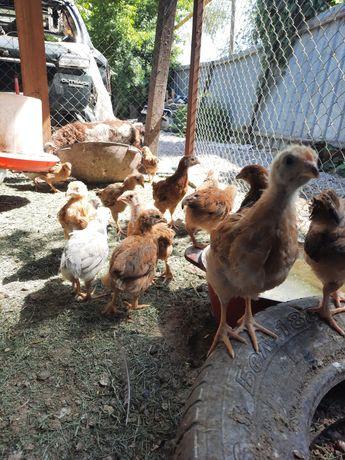 Цыплята 50 дней Кучинская и Адлерская