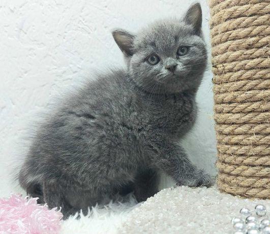№ шотландский котик голубого окраса