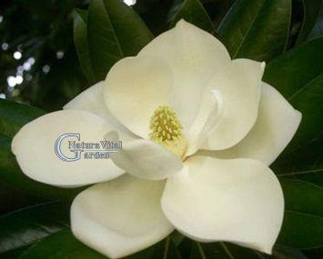 Magnolia Geandiflora MARYLAND sau vesnic verde