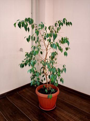 Фикус дерево комнатное растение