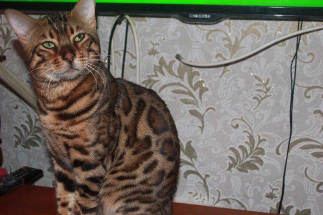 Бенгальский кот ищет кошечку для вязки .развязан.