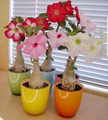 Adenium - Trandafirul Desertului De Vanzare