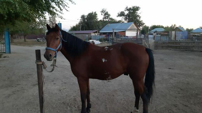 Продам коня откормленный