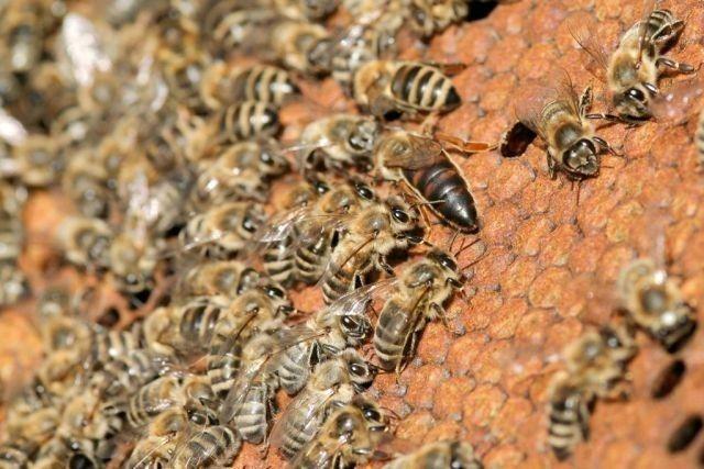 roiuri si familii de albine, Matci imperecheate