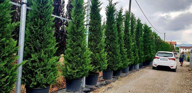Leylandii 4,5 - 5m , tuia mare, gard viu, perdea verde naturală.