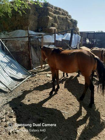 Продам лошадь 1.5 года