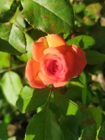 Распродажа саженцы сортовых  роз 2000