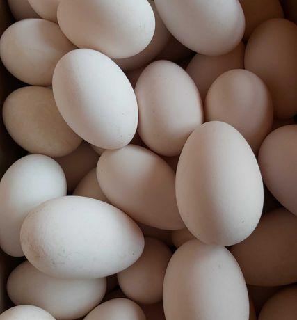 Продам гусиное инкубационные яйцо.