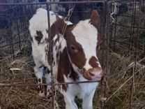 Продам телята и бычки сементал