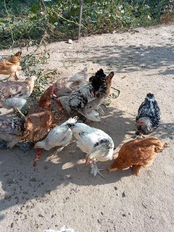Куры брама, петухи, цыплята брама