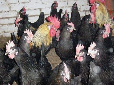 Кур черных продам петухи черные