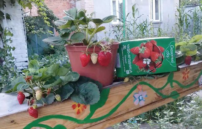 Регулярный урожай Чудо-ягодница для выращивания клубники