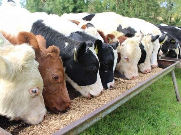 Furaj granulat sau fainos pentru vitei