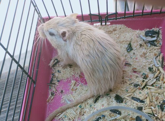 Мышь песчанка с клеткой