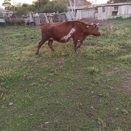 Продам Корову всё по телефону