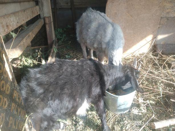 Продаю альпийских коз две девочки февральские